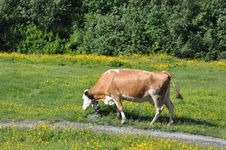 Free Cow In Switzerland Royalty Free Stock Images - 15713929