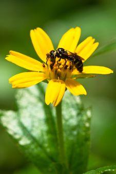 Free Wasp Pollinating Royalty Free Stock Image - 15714836