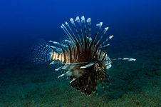 Free Lionfish (Pterois Volitans) Royalty Free Stock Images - 15715279