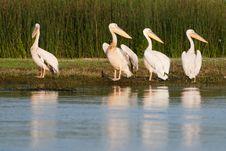 White Pelican Flock Stock Photos