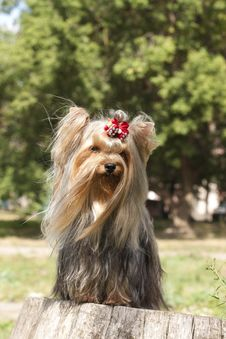 Free Yorkshire Terrier Royalty Free Stock Photography - 15718147