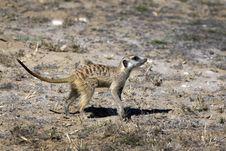 Free Meerkat Or Suricate Royalty Free Stock Photos - 15718268