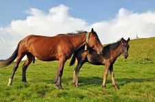 Horses On A Hillside. Royalty Free Stock Photography