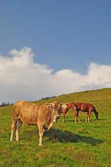 Cow And Horses On A Hillside Stock Photography