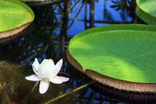 Free Victoria Amazonica With White Flower Stock Photos - 15719073