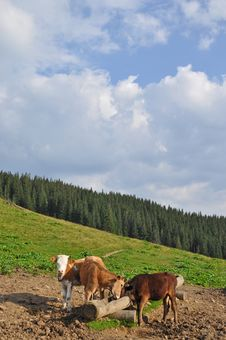 Cows At A Feeding Trough With Salt. Royalty Free Stock Photo