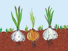 Free Garlic And Onion In The Soil Royalty Free Stock Photography - 15719897