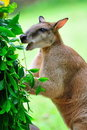 Free Red Kangaroo Enjoying Its Food Stock Photography - 15720992