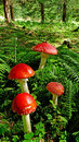 Free Fly Agaric Mushrooms Stock Images - 15727834