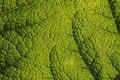 Free Giant Rhubarb (Gunnera Manicata) Stock Photos - 15729793