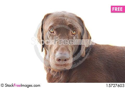 Free Chocolate Labrador Stock Photos - 15727603