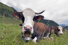 Free Alpine Cow Royalty Free Stock Image - 15720446
