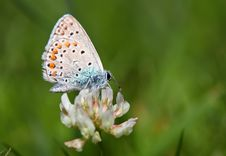 Free Butterfly - Polyommatus Icarus Stock Photos - 15720523