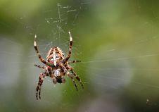 Free European Garden Spider Royalty Free Stock Photography - 15720537