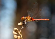 Free A Red Dragonfly Royalty Free Stock Photo - 15720555