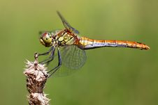 Free Dragonfly On The Tip Of A Leaf Stock Image - 15720631