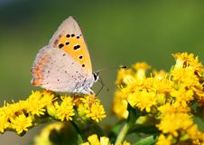 Butterfly - Lycaena Phlaeas Stock Images