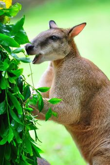 Red Kangaroo Enjoying Its Food Stock Photography