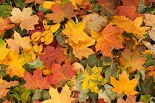 Free A Colorful Image Of Fallen Autumn Leaves Royalty Free Stock Image - 15721846