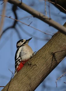 Free Woodpecker Close-up Stock Photography - 15722272