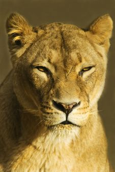 Free Female Lion (panthera Leo) Royalty Free Stock Photos - 15723248