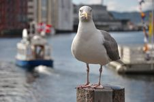 Free Seagull Royalty Free Stock Images - 15723879