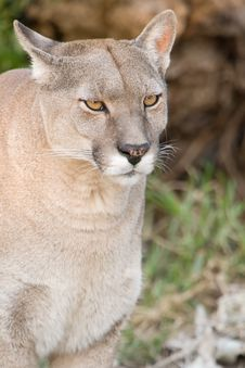 Free Close Up Of A Puma. Royalty Free Stock Photo - 15723975