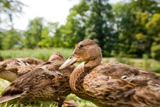 Free Cute Ducklings Stock Photos - 15724263