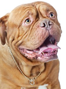 Free Puppy Of Dogue De Bordeaux (French Mastiff) Royalty Free Stock Image - 15724376