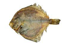 Free Salted Turbot Flatfish Stock Photography - 15724432