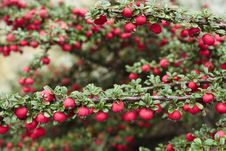 Free Red Berries Srhub Stock Images - 15724554