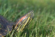Free Red-eared Slider Turtle Royalty Free Stock Photo - 15724665