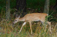 Free Whitetail Deer 2 Stock Images - 15725724