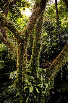Free Vine Tree Stock Photography - 15726212