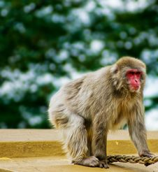 Free Monkey Royalty Free Stock Images - 15726379