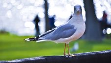 Free Seagull Posing Royalty Free Stock Photography - 15726807