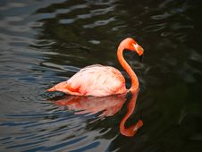Free Pink Flamingo Swimming Stock Images - 15727794