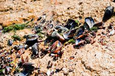 Free Sea Clams Royalty Free Stock Photography - 15728177