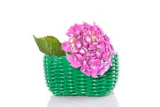 Pink Single Hortensia Royalty Free Stock Photography