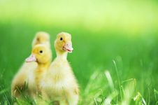Free Three Fluffy Chicks Stock Photography - 15729422