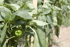 Free Green Bell Pepper Plants Royalty Free Stock Photos - 15729518