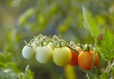 Free Tomatoes On Branch Royalty Free Stock Images - 15729769