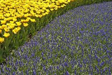 Tulips With Grape Hyacinths Royalty Free Stock Photography