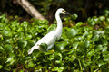 Free White Egret Royalty Free Stock Images - 15730039