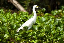 Free White Egret Royalty Free Stock Images - 15730039