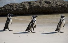 Free Penguins On Beach Stock Photo - 15730130