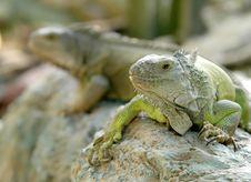 Free Iguana Royalty Free Stock Images - 15732889