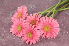 Pink Daisy Head Royalty Free Stock Photo