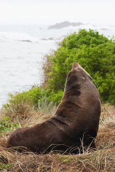 Free Fur Seal Royalty Free Stock Photo - 15733895