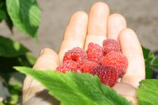 Free Handful Of Raspberries Royalty Free Stock Photography - 15736197